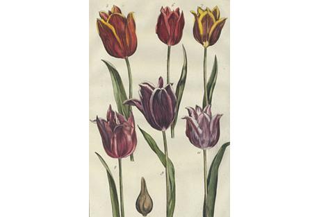 Tulips by Maria Sibylla Merian, 1771