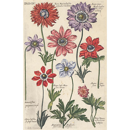 Hand-Colored Anemones, 1719