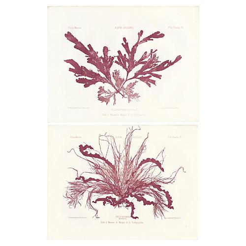 Burgundy Seaweed Lithographs, Pair, 1856