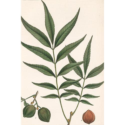 Hand-Colored  Bitternut Hickory, 1819
