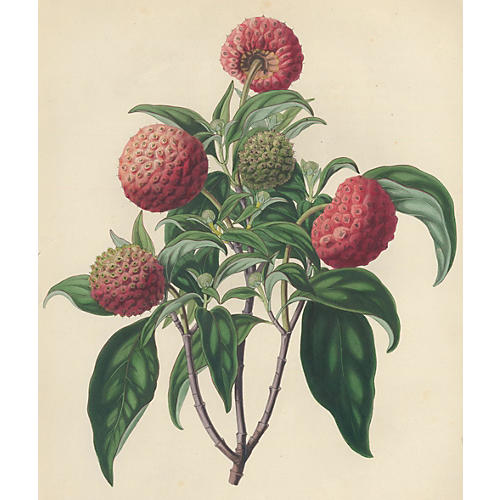 Hand-Colored Himalayan Strawberry, 1835