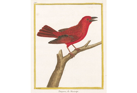 Hand-Colored Mississippi Tanager, 1786