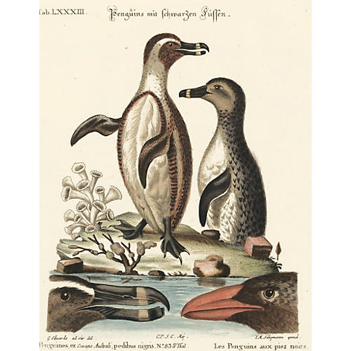 Hand-Colored Penguin Engraving, C. 1750