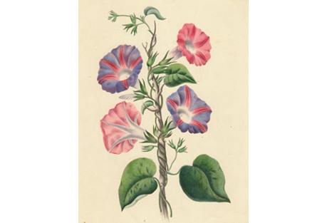 19th-C. Painting of Morning Glories
