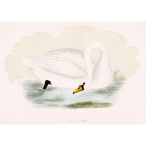 Hand-Colored Polish Swan, 1870