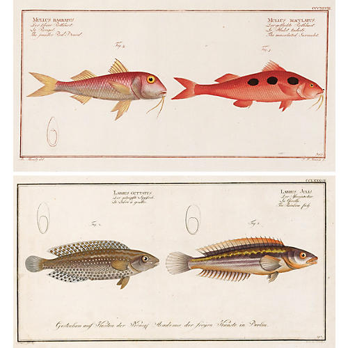 Bloch Fish Engravings, C. 1790, Pair