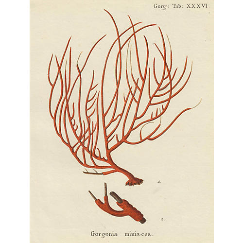 Hand-Colored Red Coral, C. 1795