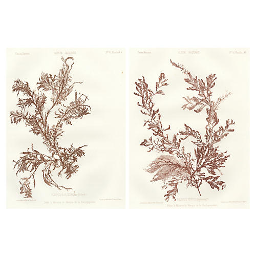 Sepia Seaweed Lithographs, 1856, Pair