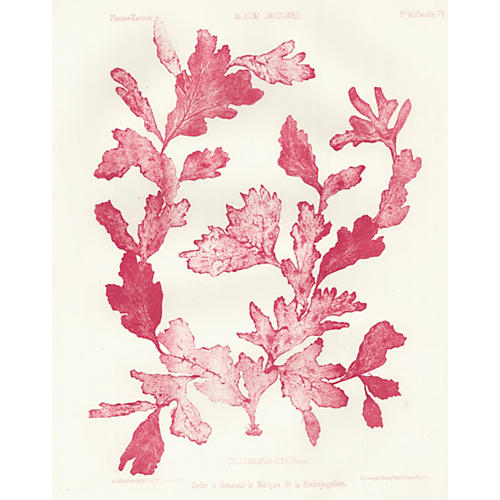 Crimson Seaweed Lithograph, 1856
