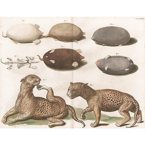 Leopard by Albertus Seba, 1758