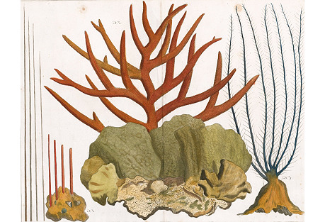 Red Coral by Albertus Seba, 1758
