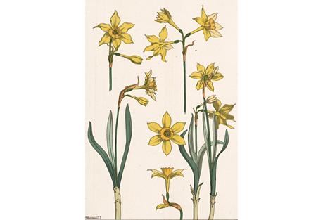 Art Nouveau Daffodil Pochoir, C. 1896