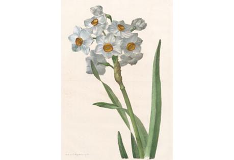 Hand-Colored Daffodil Lithograph, 1826
