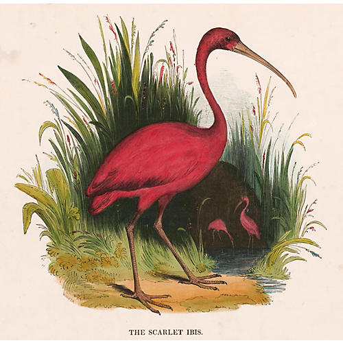 Hand-Colored Scarlet Ibis, 1843