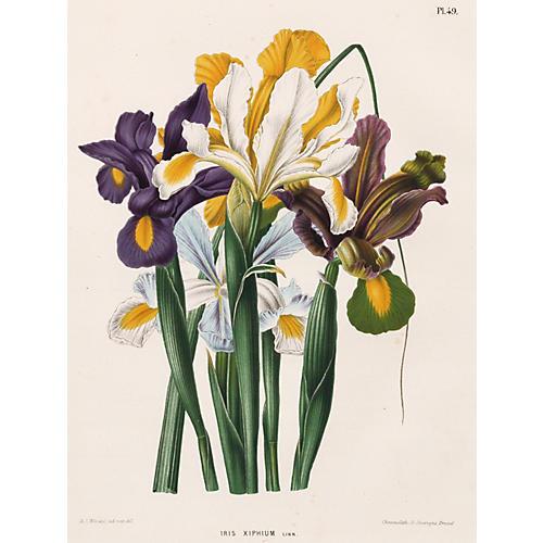 Iris Chromolithograph, C. 1874