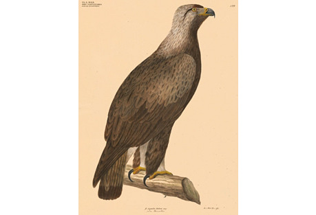 Hand-Colored Golden Eagle, C. 1840