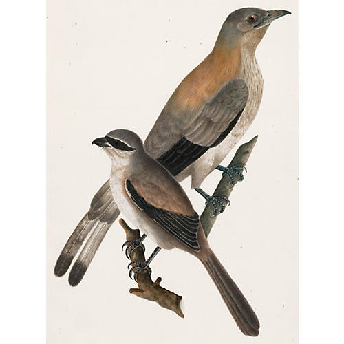 Watercolor of Waxwings, C. 1800