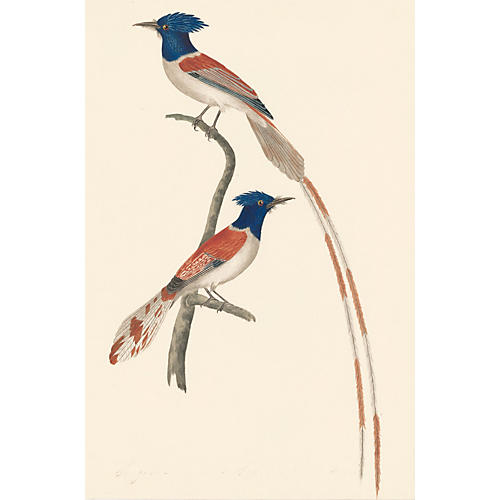 African Paradise Flycatcher Watercolor