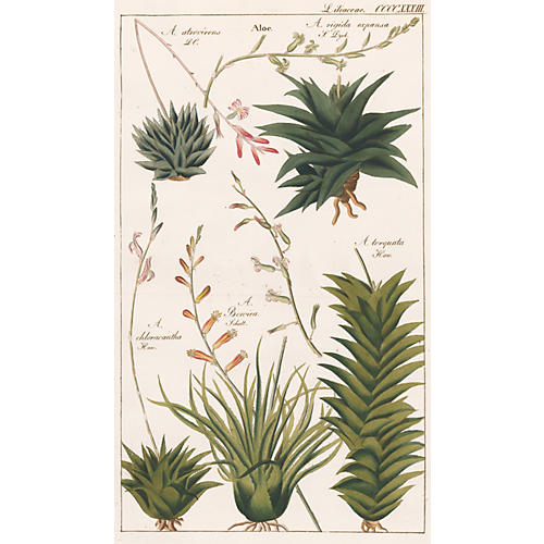 Hand-Colored Aloe Engraving, C. 1850