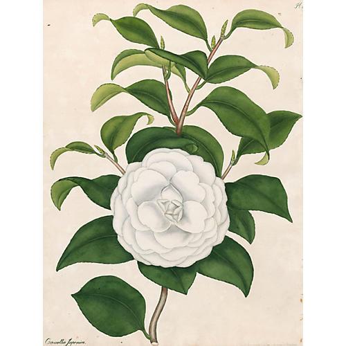 Japanese Camellia Engraving, 1802