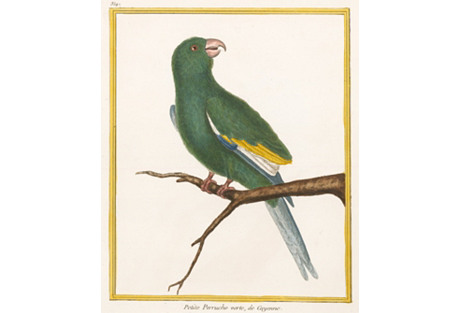 Green Cayenne Parrot by Martinet, C.1780