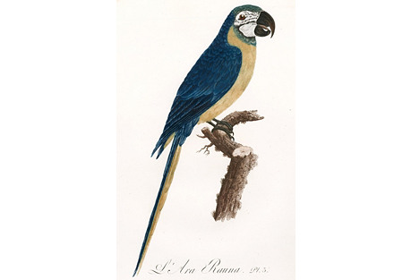 Blue & Yellow Macaw by Barraband, C.1805