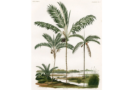 Hand-Colored Bolivian Palm Trees, 1847
