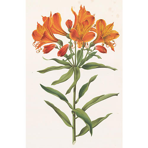 Tiger Lily Chromolithograph, C. 1874