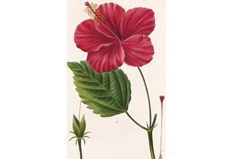 Chinese Hibiscus Engraving, 1822