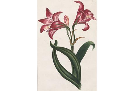 Belladona Lily Engraving, C. 1800