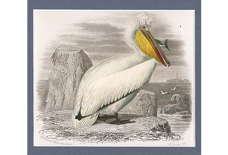 Hand-Colored Pelican, C. 1850