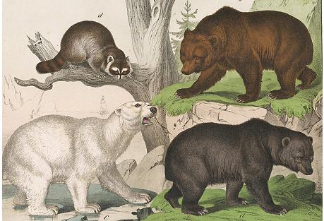 Hand-Colored Bears & Raccoon, C. 1850