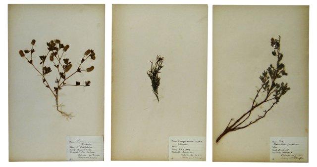 Swedish Dried Botanicals, Set  of 3