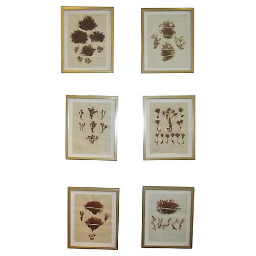 19th-C. Botanicals Prints, S/6