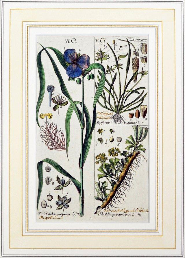 18th-C.    Botanical Print