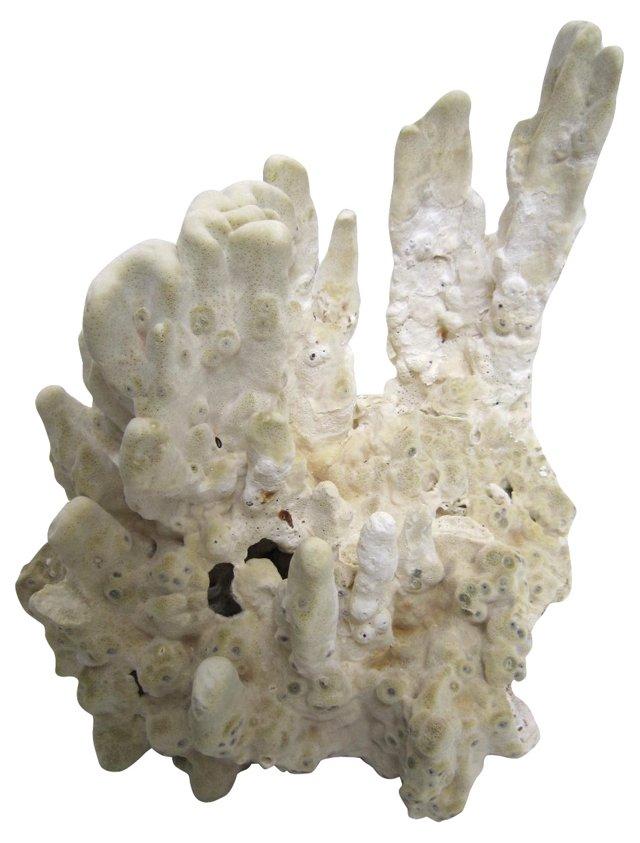 Fan Coral Specimen