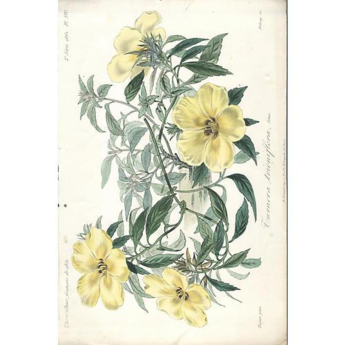 Turnera Trioniflora by Francois Herincq