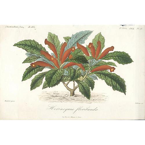 Hernicquia Floribunda