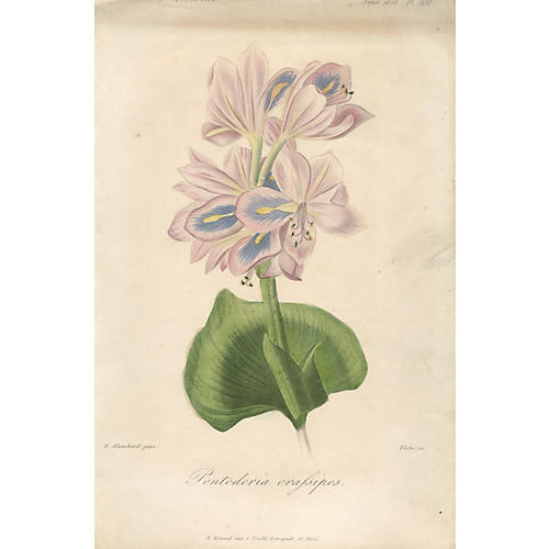 Pontoderia crafsipes by Francois Herincq