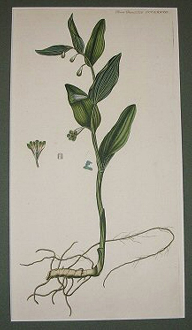 Danish Botanical     Engraving