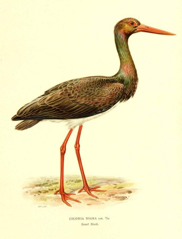 Black Stork, 1929