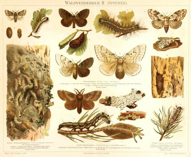 Butterflies, 1894
