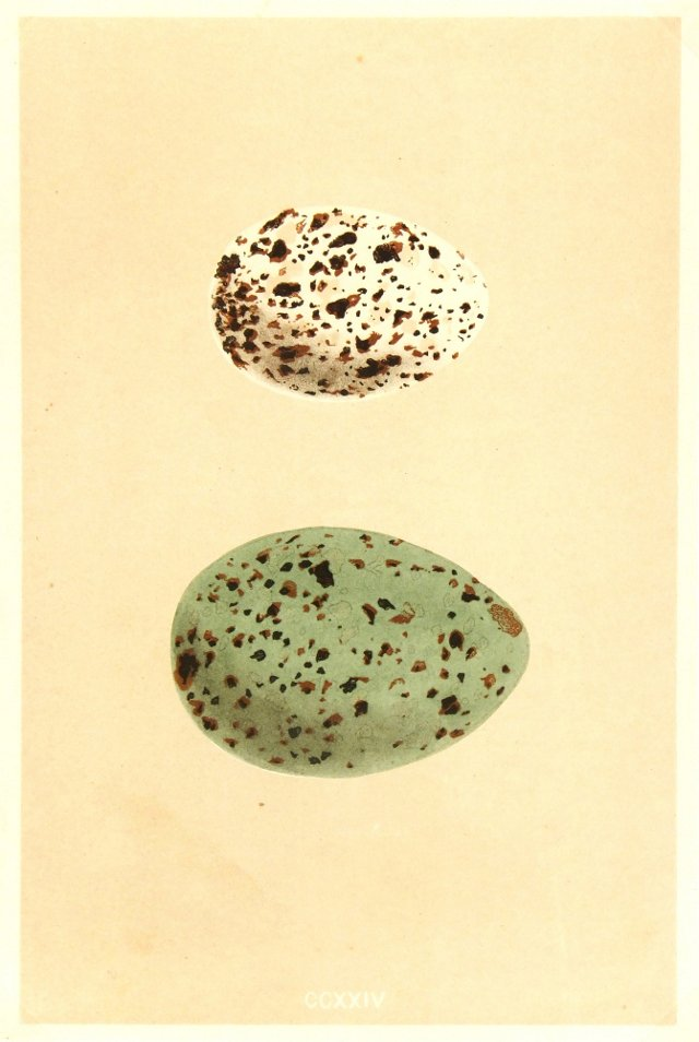 Speckled Eggs, C. 1860