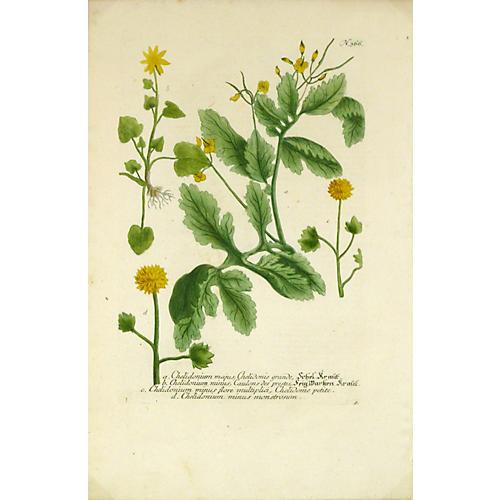 Botanical, C. 1730