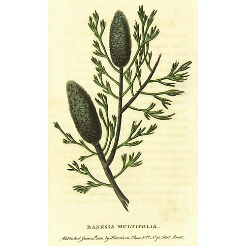 Banksia, 1800