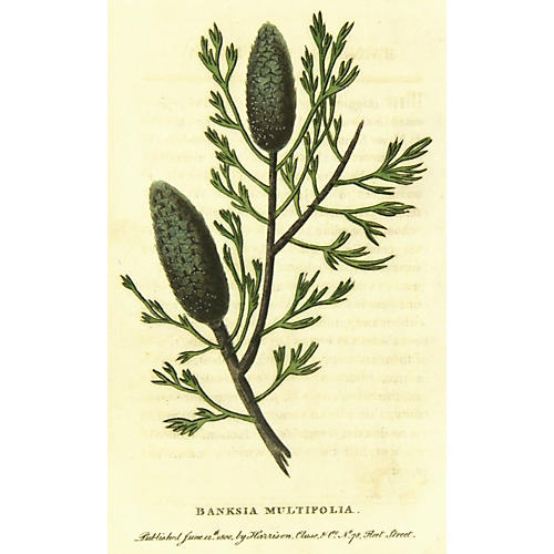 Banksia, 1800