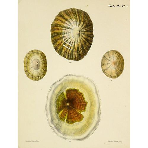 Antique Shells Print, 1878