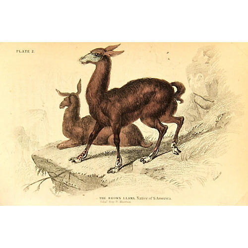 The Brown Llama, 1843