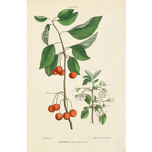 Italian Cherries, C. 1890