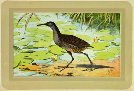 Clapper Rail Wading Bird, C. 1920